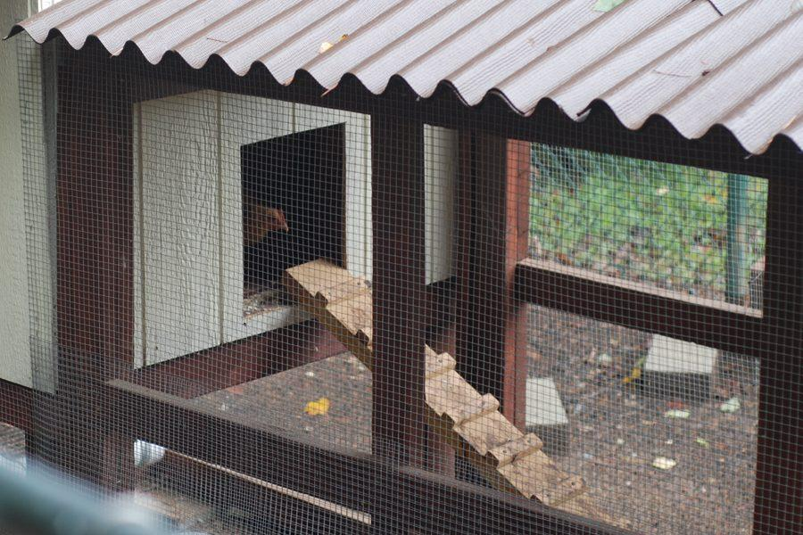 After a hawk attack, the animal science classes rebuilt the school chicken coop.